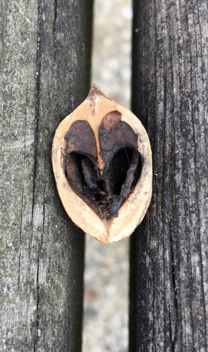 uncropped acorn love copy