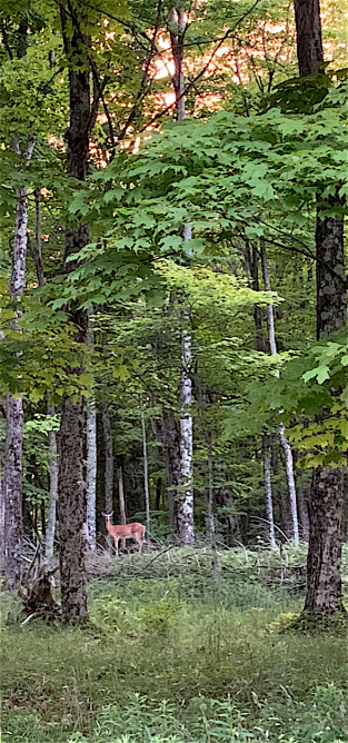deer in woods copy