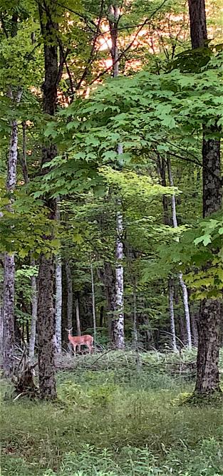 deer in woods copy