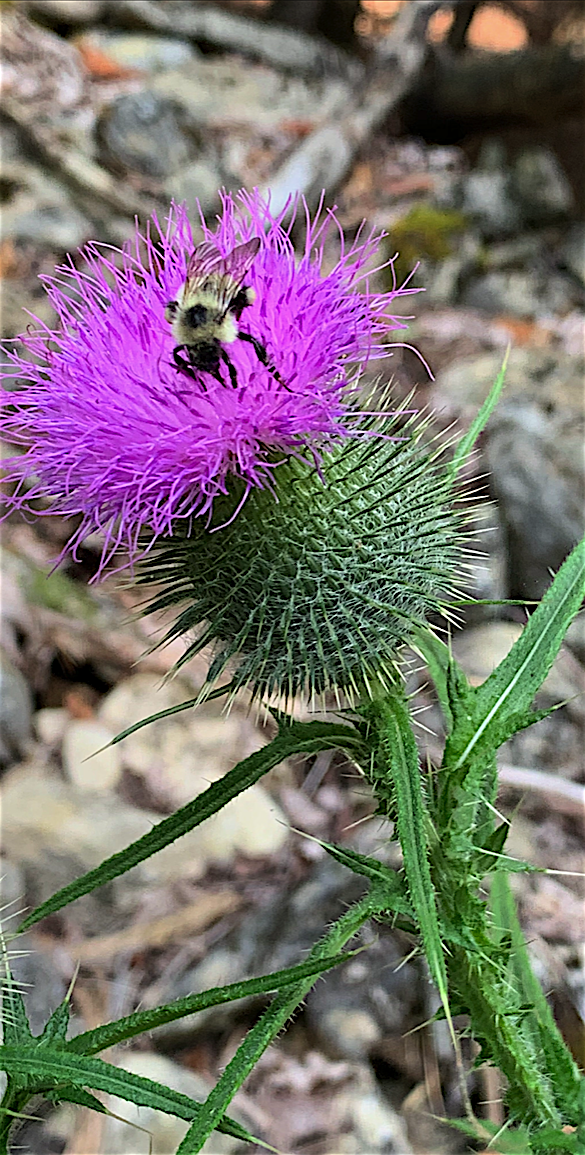 bee and thistle copy