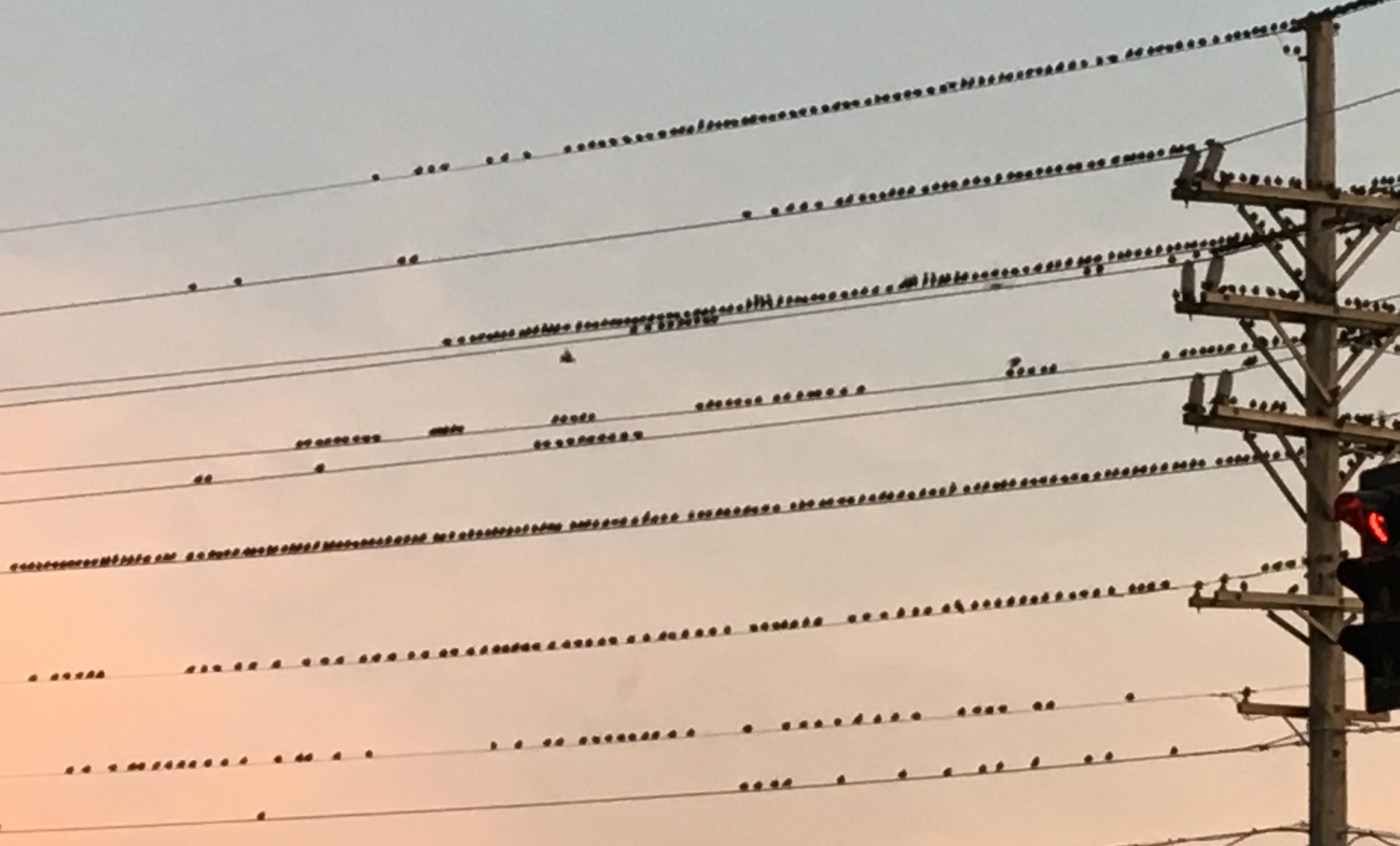 birds on a wire copy