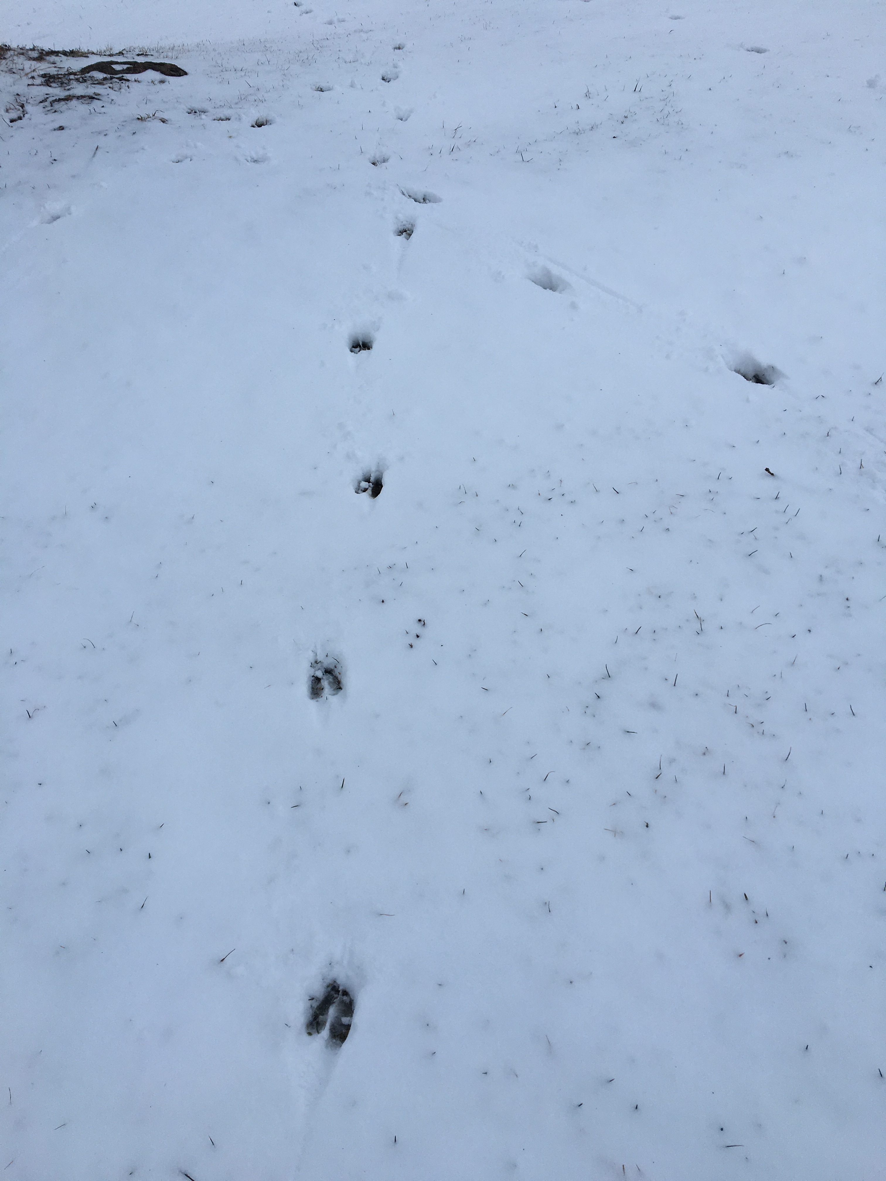 deer tracks converge copy