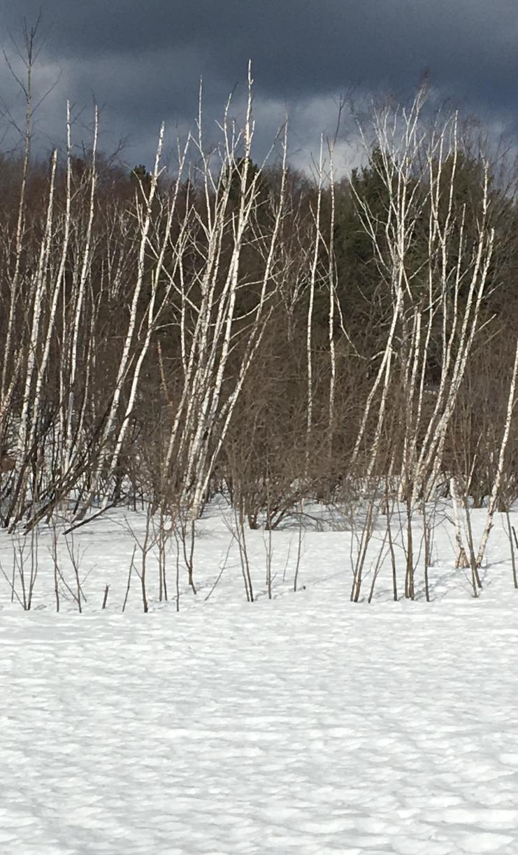 birch in winter copy
