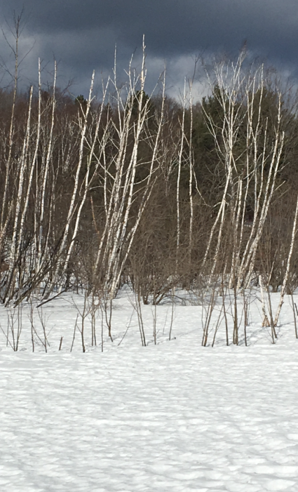 birch in winter copy