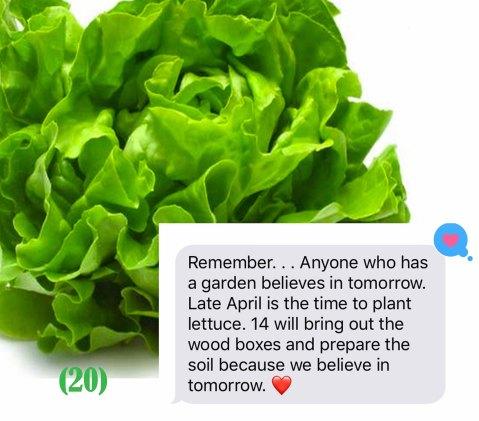 plant lettuce copy
