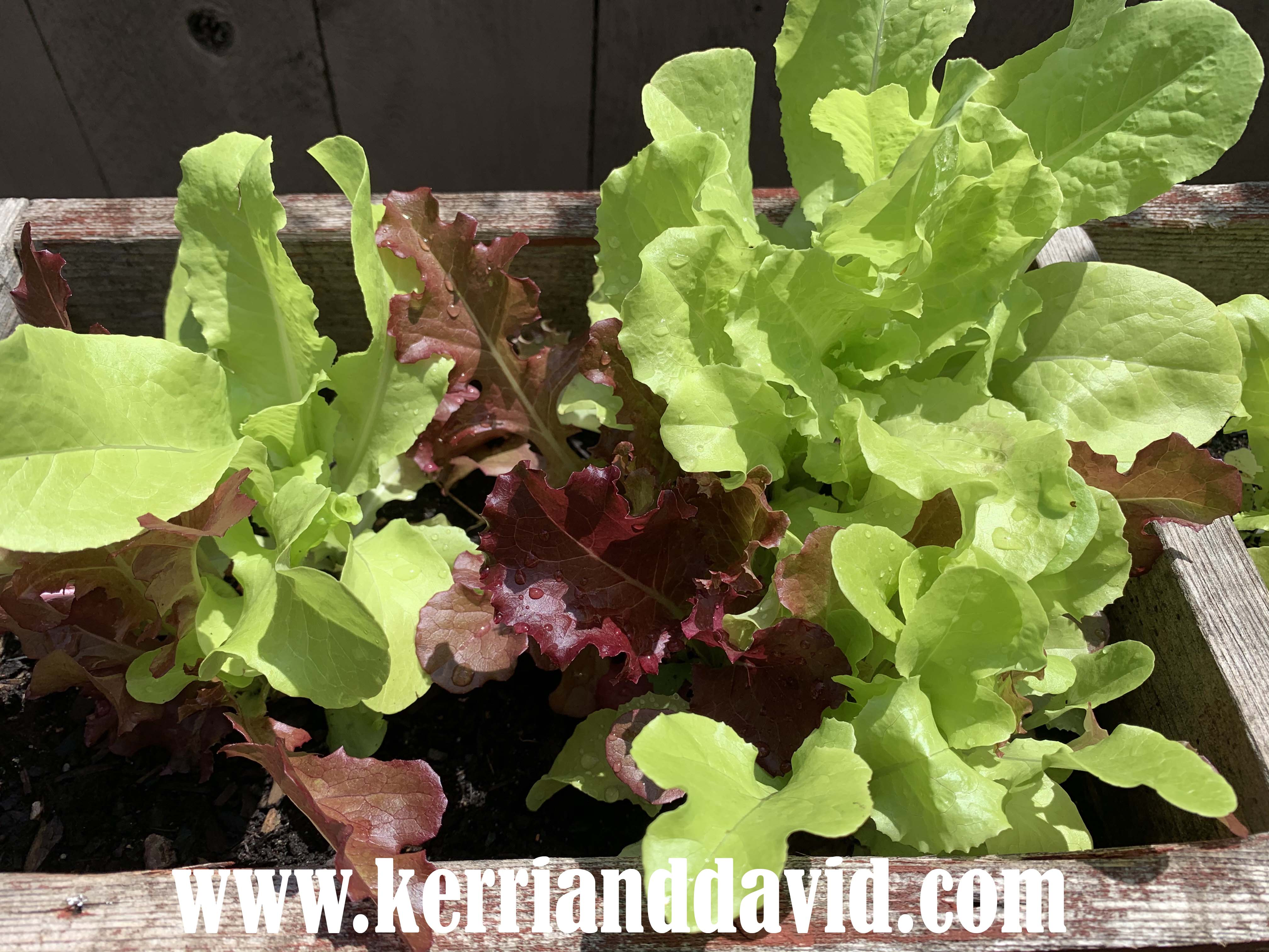 lettuce website box copy