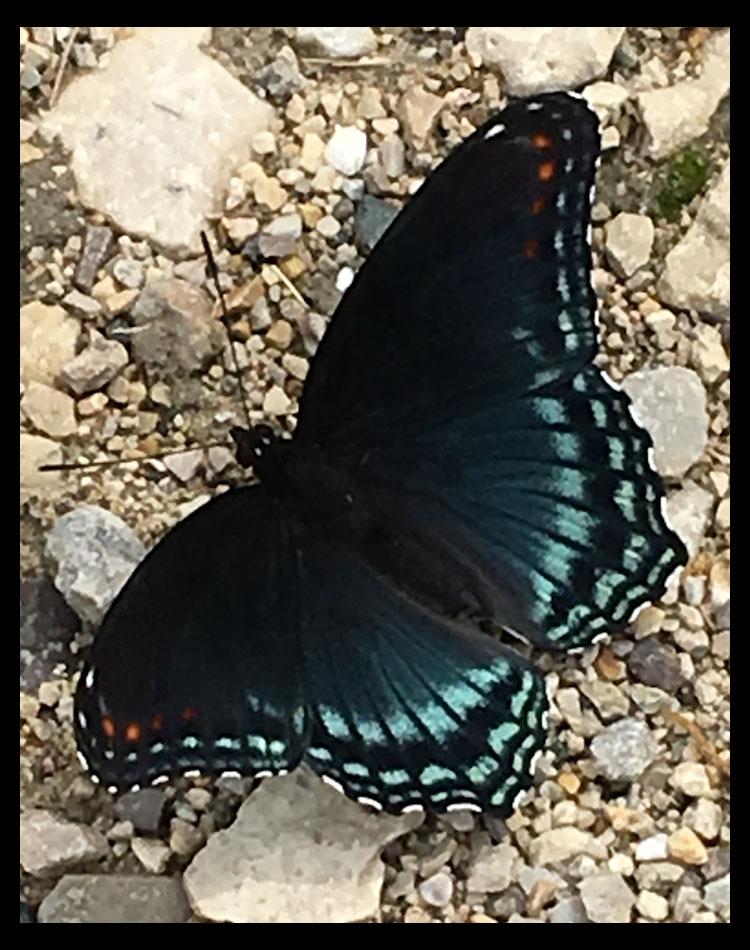 butterfly butterfly spread your wings copy